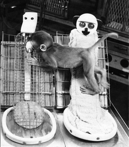 One of Harlow's orphaned monkeys clings to the cloth mother even while sucking milk from the metal mother. © Photo Researchers / Visualphotos.com.